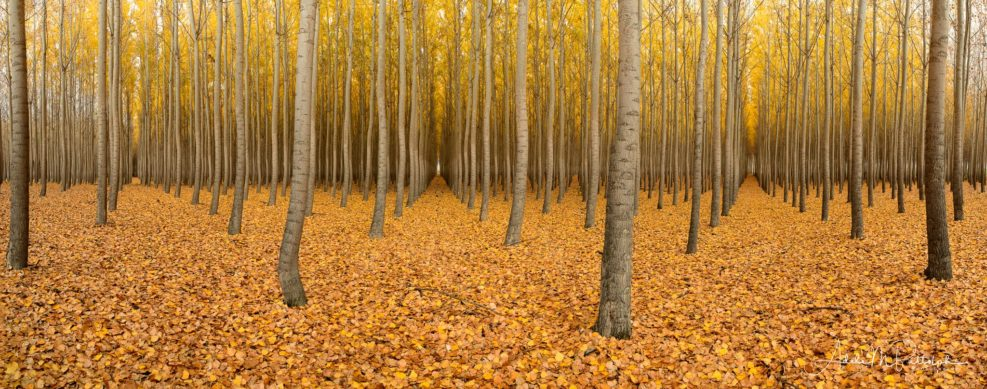 Golden poplar corridors photographed at Boardman Tree Farm, Boardman, Oregon, during peak autumn color. © Adele M. Buttolph, © Adele Buttolph. adelembuttolphgallery, adelembuttolphphotography