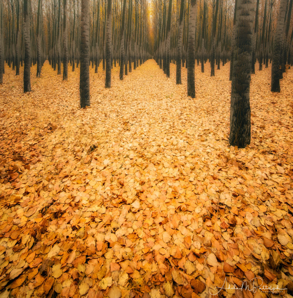 Autumn leaves photographed in October make for a colorful pathway at Boardman Tree Farm, Oregon. © Adele M. Buttolph, © Adele Buttolph. adelembuttolphgallery, adelembuttolphphotography
