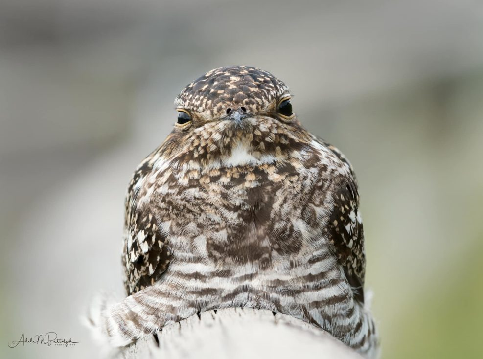 Common Nighthawk, bird photography, bird, wildlife, wildlife photography