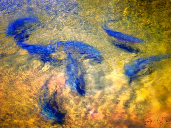 Abstract and impressionistic photograph of rainbow trout in fish viewing pond at Wallowa Fish Hatchery, Enterprise, Oregon