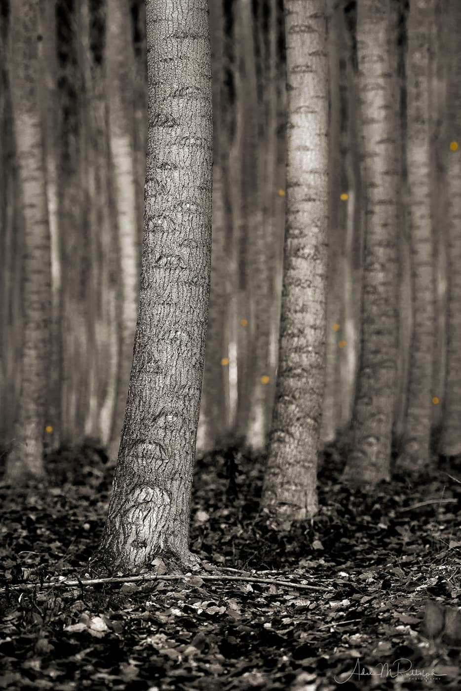 Rows of monochrome tree trunks with golden leaves falling in the background. Photograph taken at Boardman Tree Farm, Boardman, Oregon during the autumn.