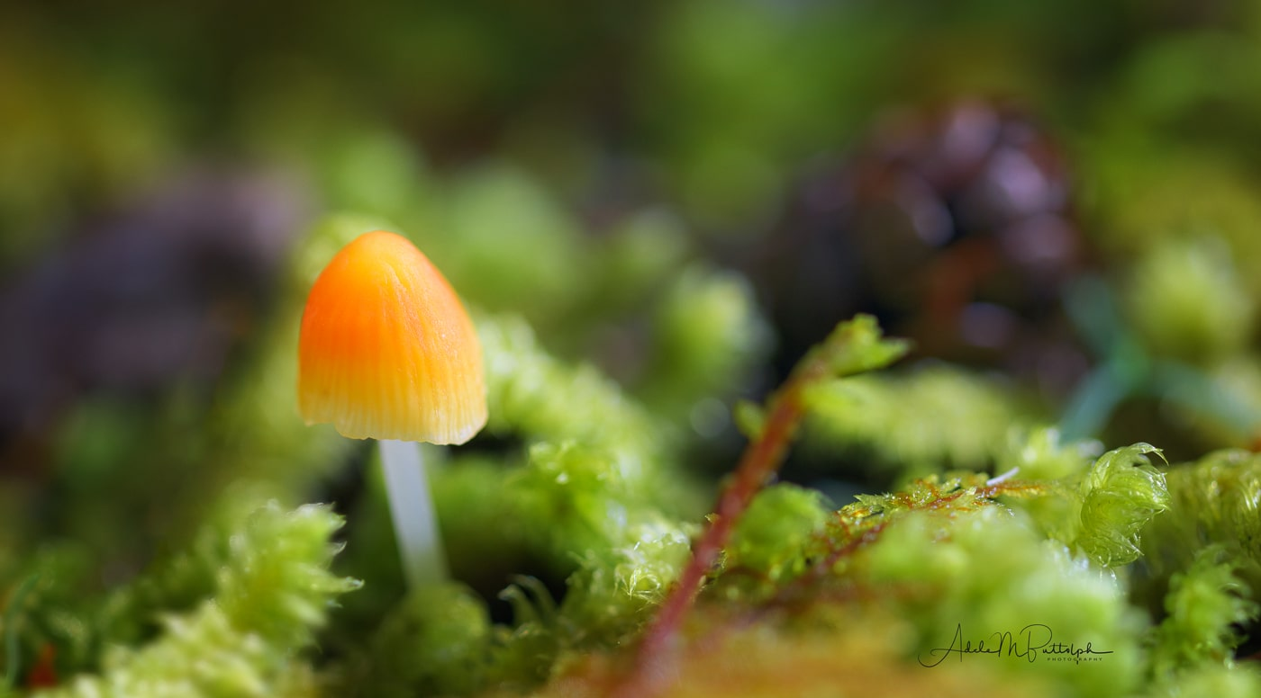 A tiny orange mushroom grows from the forest moss near the base of Mt. Hood, Oregon, in the Pacific Northwest.
