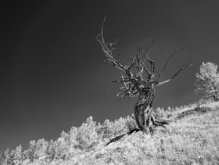 Twisted and dead tree on a slope above Upper Green River Lake, Wind River Range, Wyoming. Black and white photograph shot in infrared.