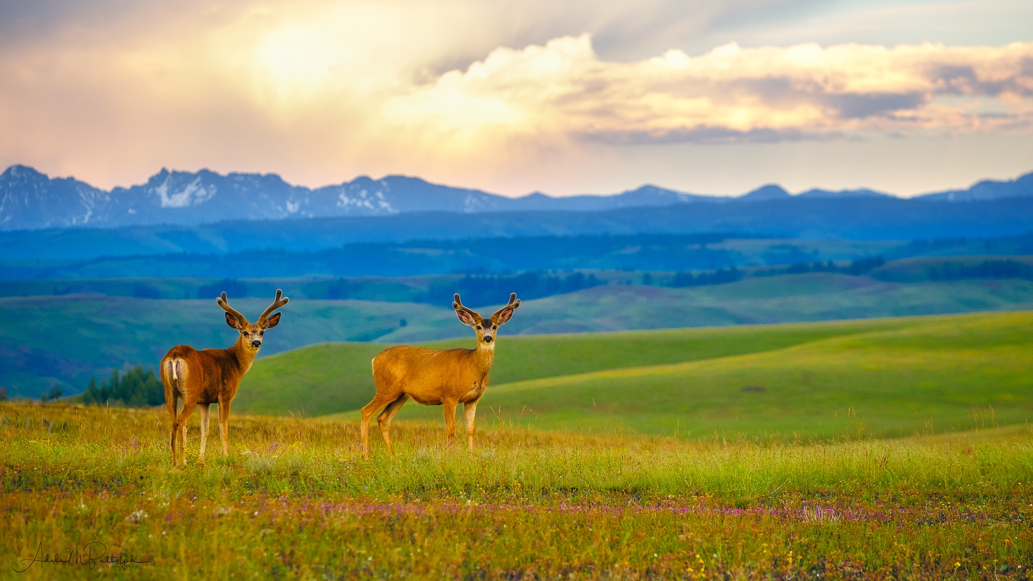Two male deer photographed at sunset on the Zumwalt Prairie, Wallowa County, Oregon.