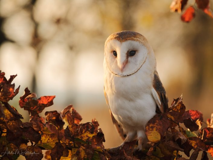 A barn owl perches on a brand of autumn colored leaves in the Czech Republic